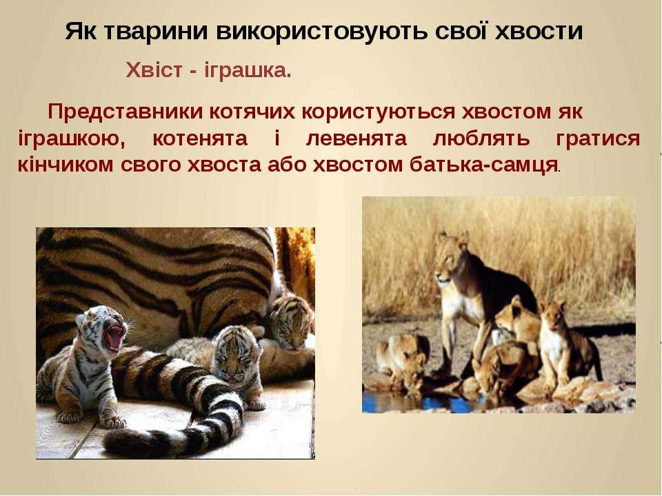Представники котячих користуються хвостом як іграшкою, котенята і левенята лю...