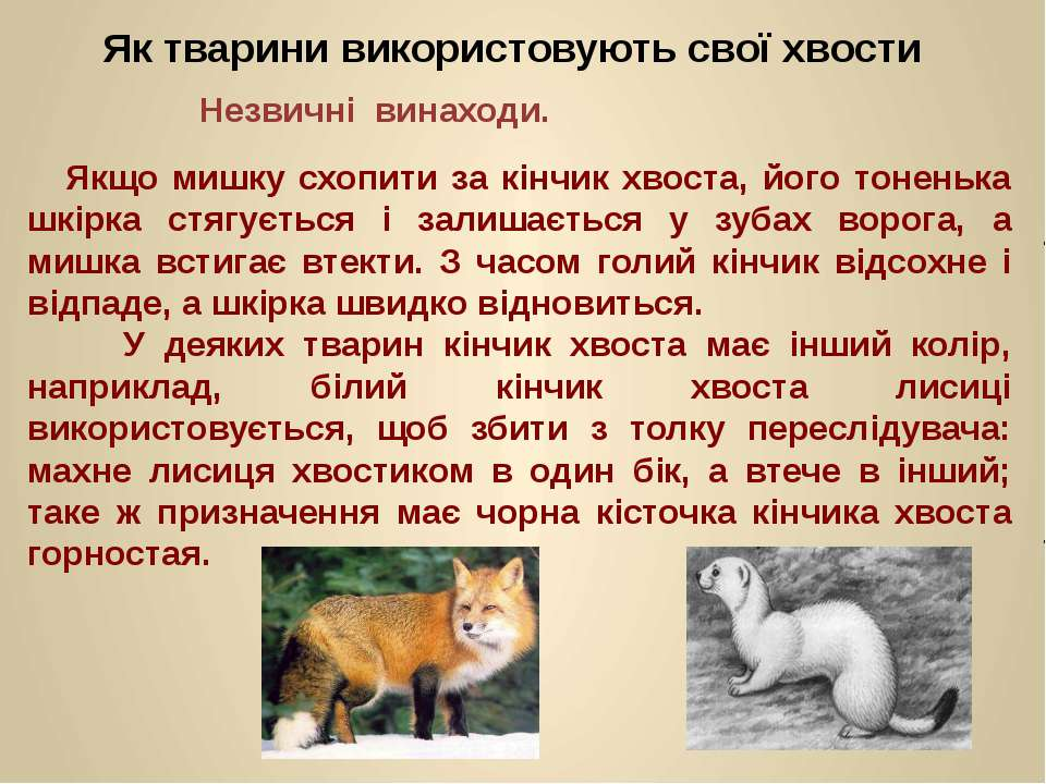 Якщо мишку схопити за кінчик хвоста, його тоненька шкірка стягується і залиша...
