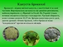 Капуста брокколі Брокколі – підвид цвітної капусти, у якої їстівні ті ж самі ...