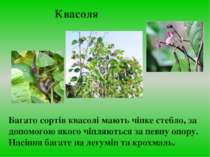 Багато сортів квасолі мають чіпке стебло, за допомогою якого чіпляються за пе...