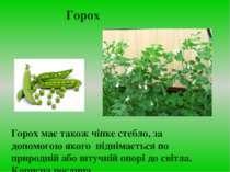 Горох має також чіпке стебло, за допомогою якого піднімається по природній аб...