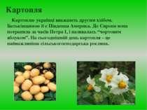 Картопля Картоплю українці вважають другим хлібом. Батьківщиною її є Південна...