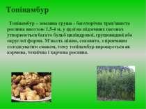 Топінамбур Топінамбур – земляна груша - багаторічна трав'яниста рослина висот...