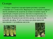 Селера Селера—дворічна городня пряна рослина з родини селерових до 1 м висото...