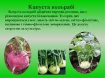 Капуста кольрабі Капуста кольрабі дворічна харчова рослина, що є різновидом к...