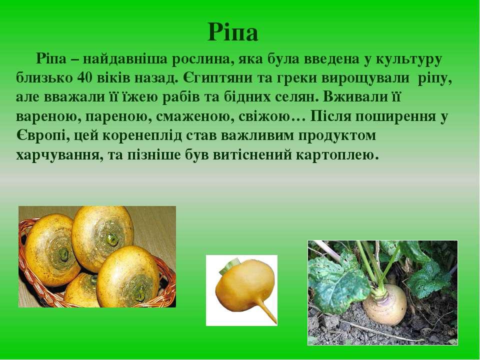 Ріпа Ріпа – найдавніша рослина, яка була введена у культуру близько 40 віків ...
