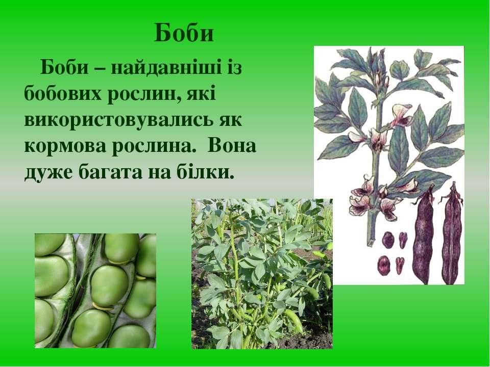 Боби Боби – найдавніші із бобових рослин, які використовувались як кормова ро...