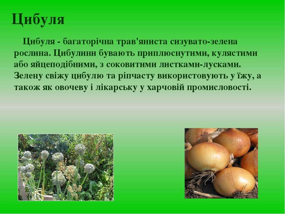 Цибуля Цибуля - багаторiчна трав'яниста сизувато-зелена рослина. Цибулини був...
