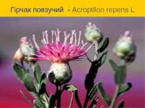 Гірчак повзучий - Acroptilon repens L