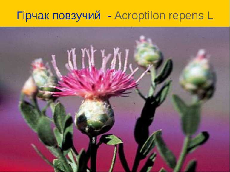 Гірчак повзучий - Acroptilon repens L
