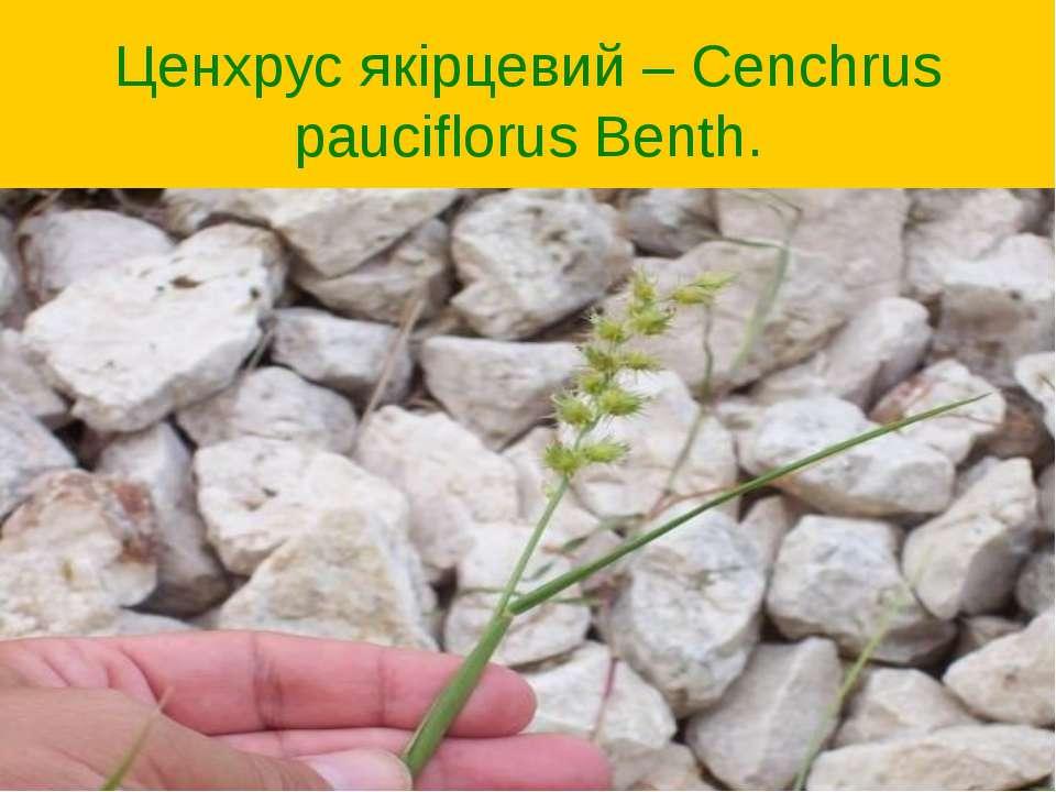 Ценхрус якірцевий – Cenchrus pauciflorus Benth.