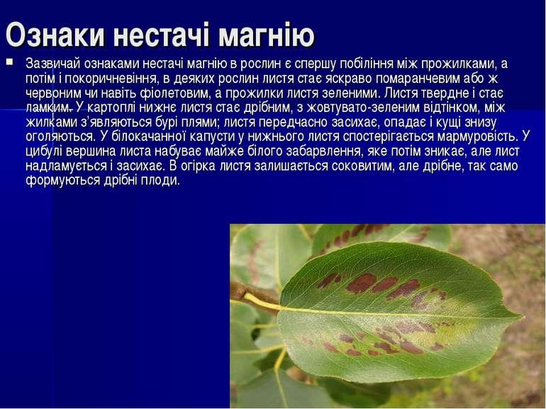 Ознаки нестачі магнію Зазвичай ознаками нестачі магнію в рослин є спершу побі...