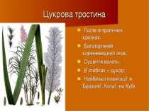 Цукрова тростина Росте в тропічних країнах; Багаторічний кореневищний злак; С...