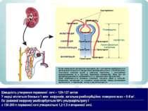 Нефрон Швидкість утворення первинної сечі – 120–127 мл/хв У нирці міститься б...