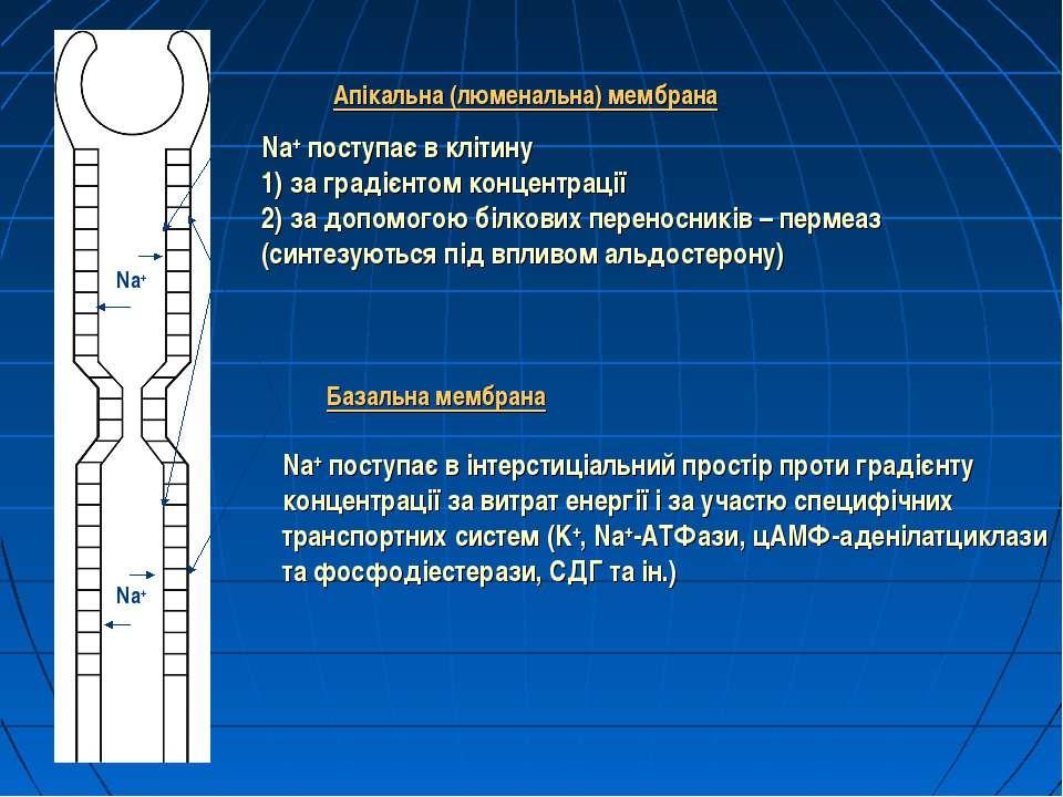 Апікальна (люменальна) мембрана Na+ поступає в клітину 1) за градієнтом конце...