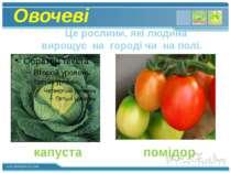 Овочеві Це рослини, які людина вирощує на городі чи на полі. капуста помідор ...