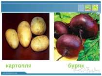 картопля буряк www.themegallery.com