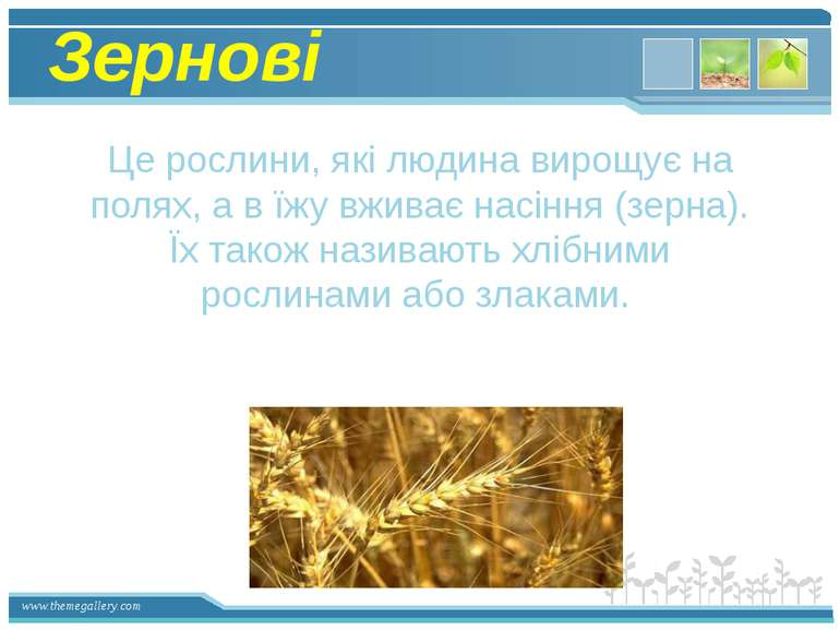Зернові Це рослини, які людина вирощує на полях, а в їжу вживає насіння (зерн...