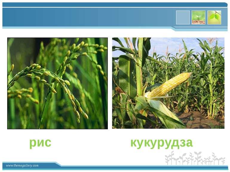рис кукурудза www.themegallery.com