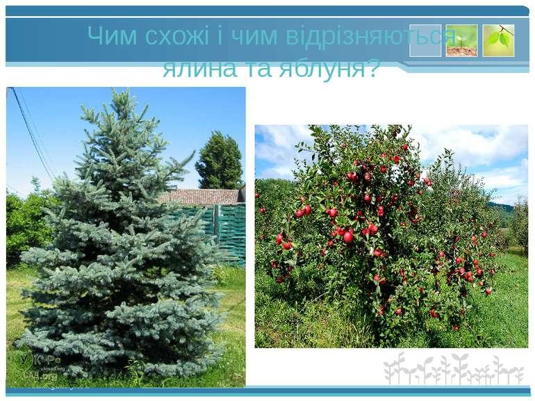 Чим схожі і чим відрізняються ялина та яблуня? www.themegallery.com