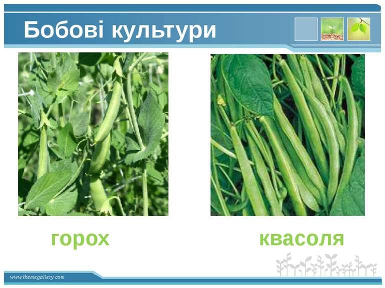 Бобові культури горох квасоля www.themegallery.com