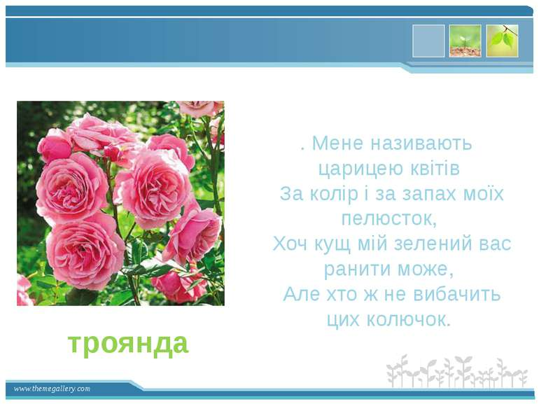 . Мене називають царицею квітів За колір і за запах моїх пелюсток, Хоч кущ мі...