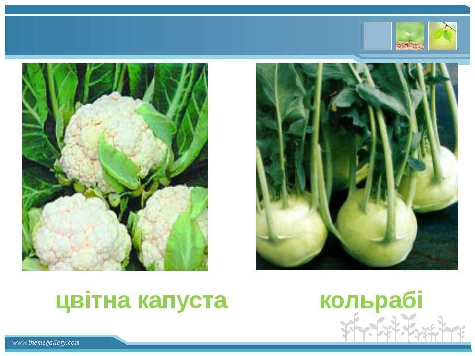 цвітна капуста кольрабі www.themegallery.com