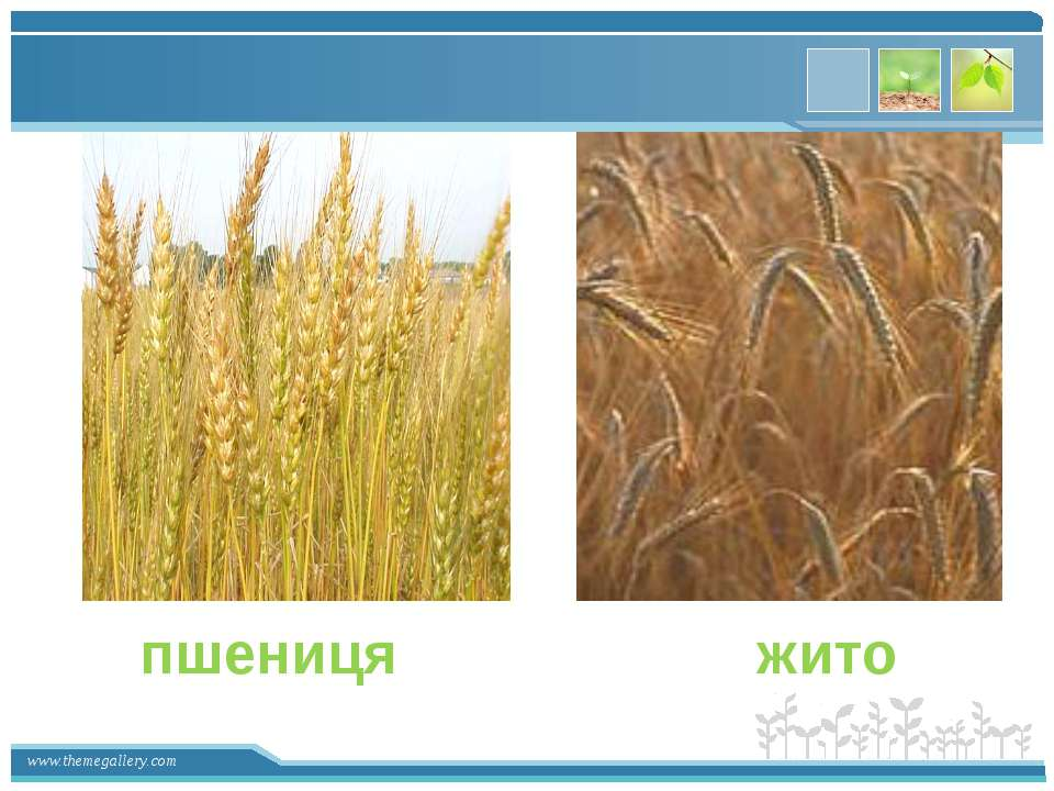 … пшениця жито www.themegallery.com