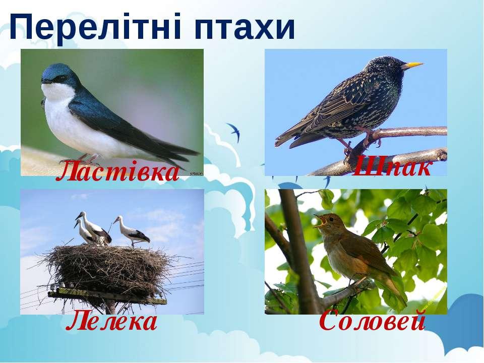Перелітні птахи Ластівка Лелека Шпак Соловей
