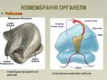 НЕМЕМБРАННІ ОРГАНЕЛИ Рибосоми Схема будови прокариотичної рибосоми Схема будо...