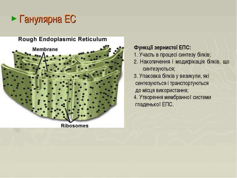 Ганулярна ЕС Функції зернистої ЕПС: 1. Участь в процесі синтезу білків; 2. На...