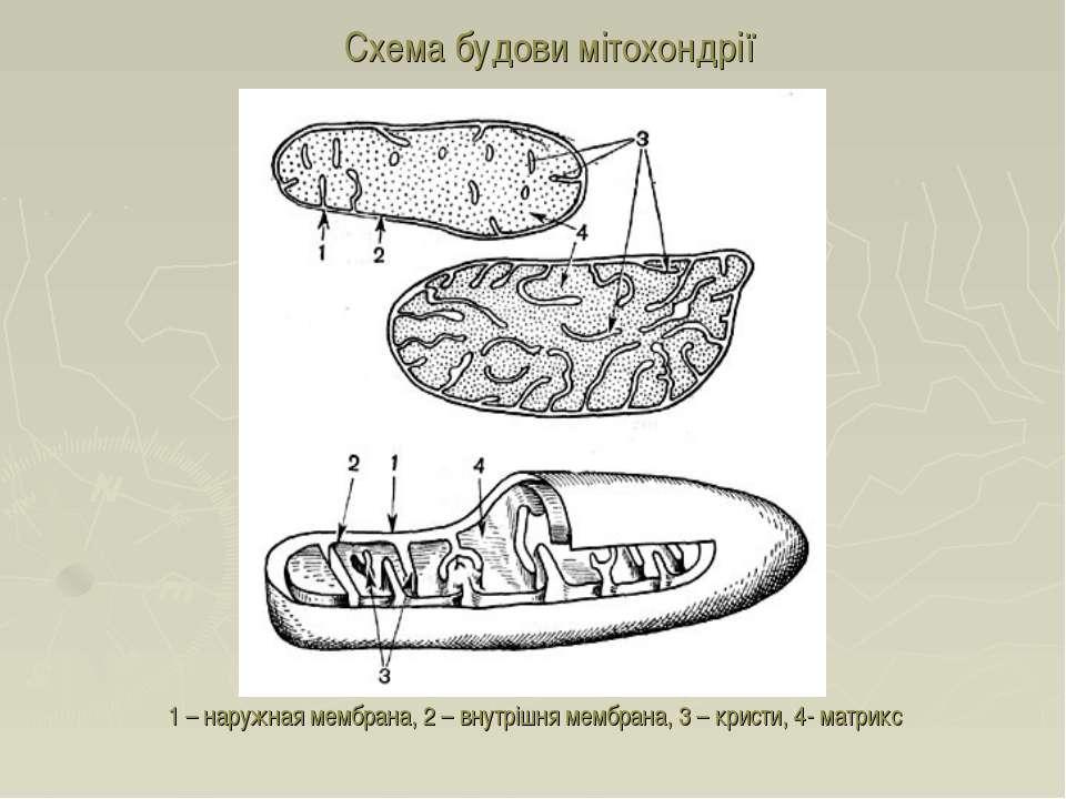 1 – наружная мембрана, 2 – внутрішня мембрана, 3 – кристи, 4- матрикс Схема б...