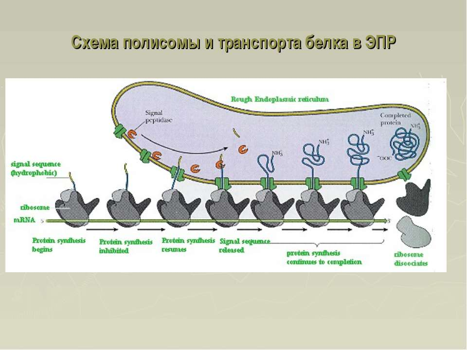 Схема полисомы и транспорта белка в ЭПР