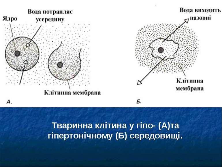 Тваринна клітина у гіпо- (А)та гіпертонічному (Б) середовищі.