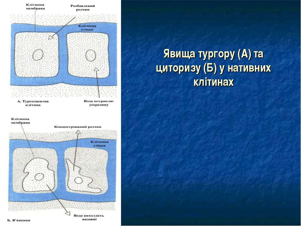 Явища тургору (А) та циторизу (Б) у нативних клітинах