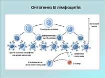 Онтогенез В лімфоцитів