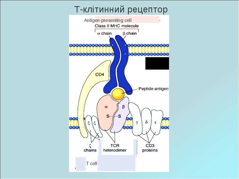 Т-клітинний рецептор Antigen-presenting cell T cell