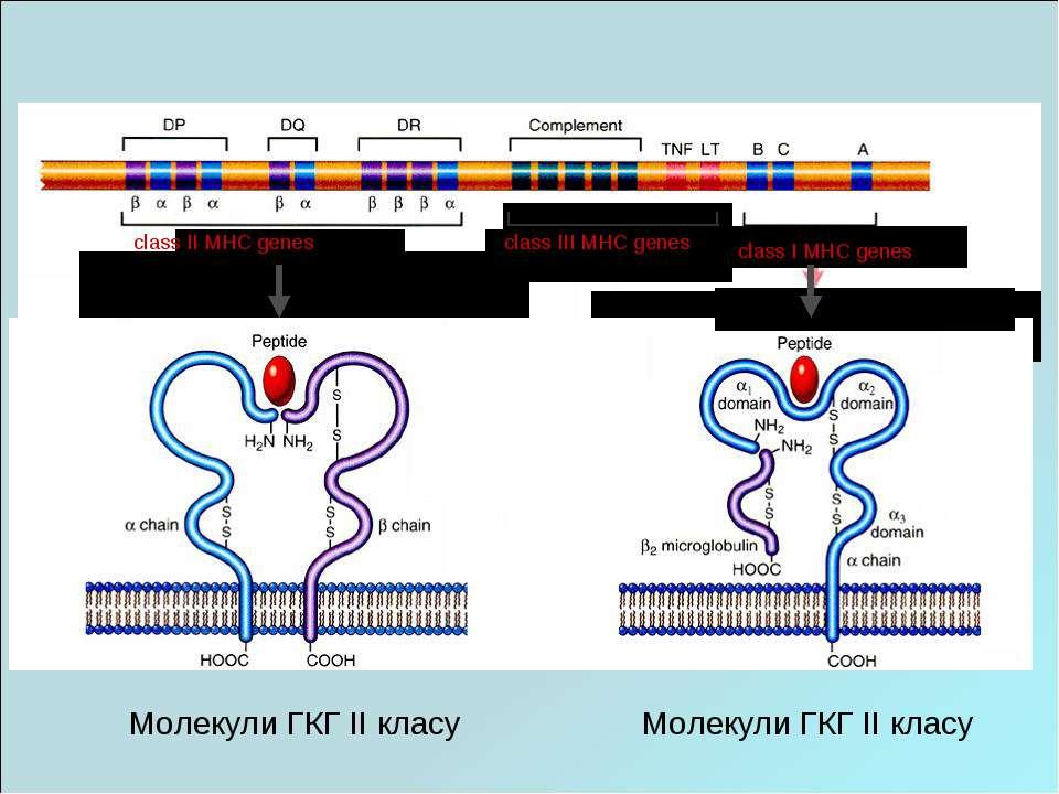 Молекули ГКГ II класу Молекули ГКГ II класу class II MHC genes class I MHC ge...