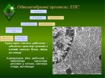 Одномембранні органели: ЕПС Гранулярна (містить рибосоми) – забезпечує трансп...