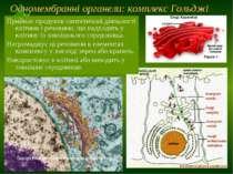 Одномембранні органели: комплекс Гольджі Приймає продукти синтетичної діяльно...