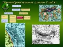 Одномембранні органели: комплекс Гольджі Пластиди ТДМУ