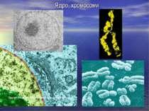 Ядро, хромосоми