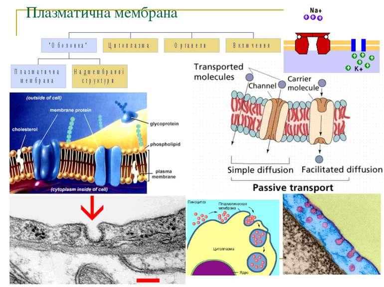 Плазматична мембрана