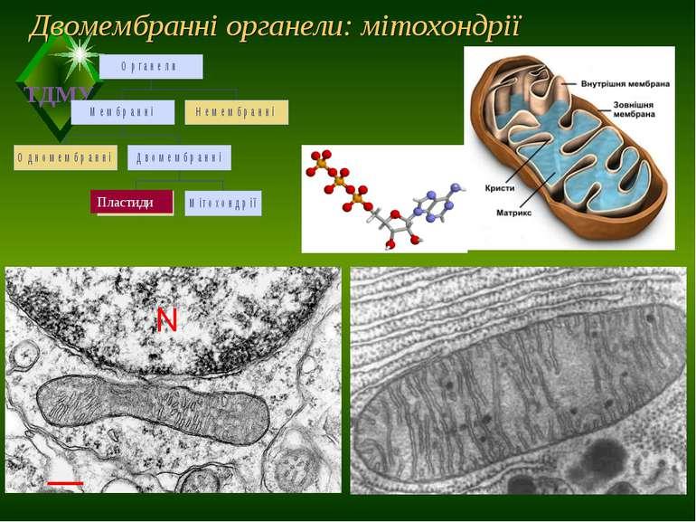 Двомембранні органели: мітохондрії Пластиди ТДМУ