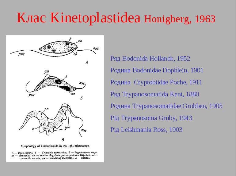 Клас Kinetoplastidea Honigberg, 1963 Ряд Bodonida Hollande, 1952 Родина Bodon...