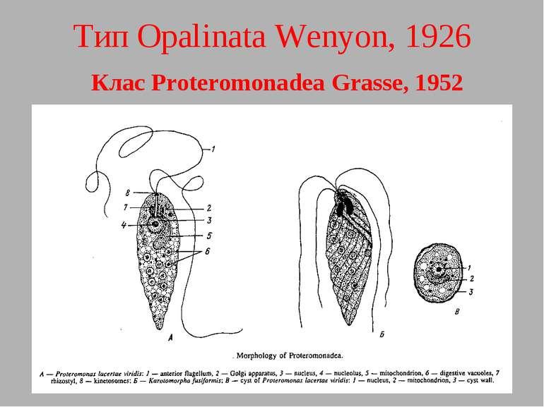 Тип Opalinata Wenyon, 1926 Клас Proteromonadea Grasse, 1952