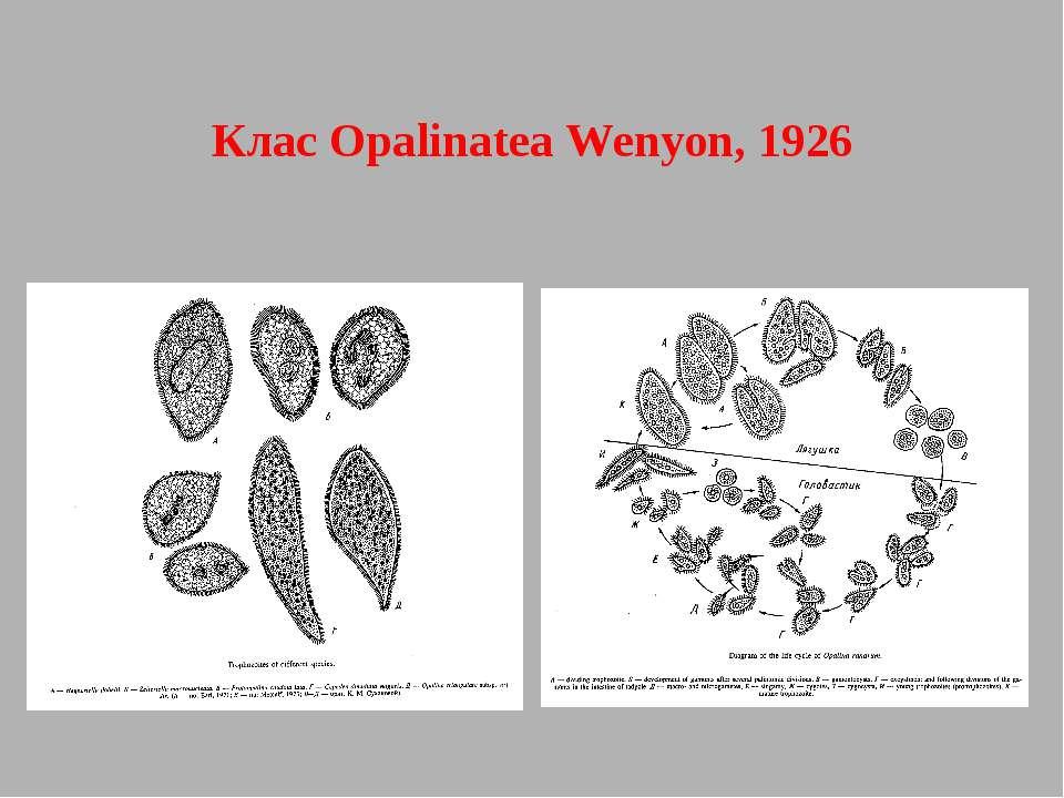 Клас Opalinatea Wenyon, 1926