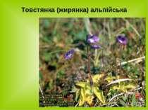 Товстянка (жирянка) альпійська