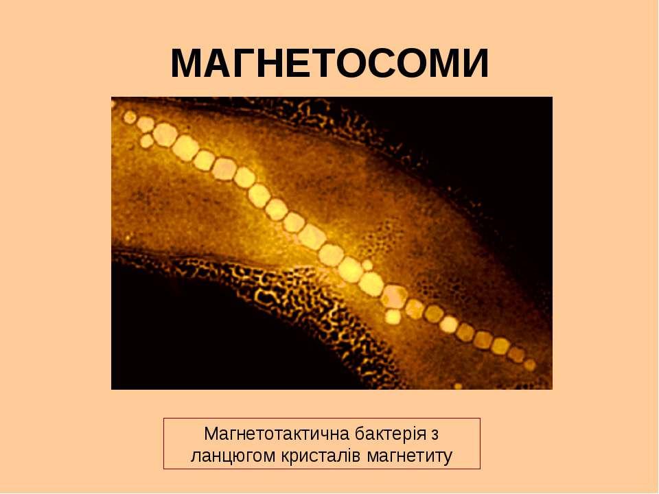 МАГНЕТОСОМИ Магнетотактична бактерія з ланцюгом кристалів магнетиту