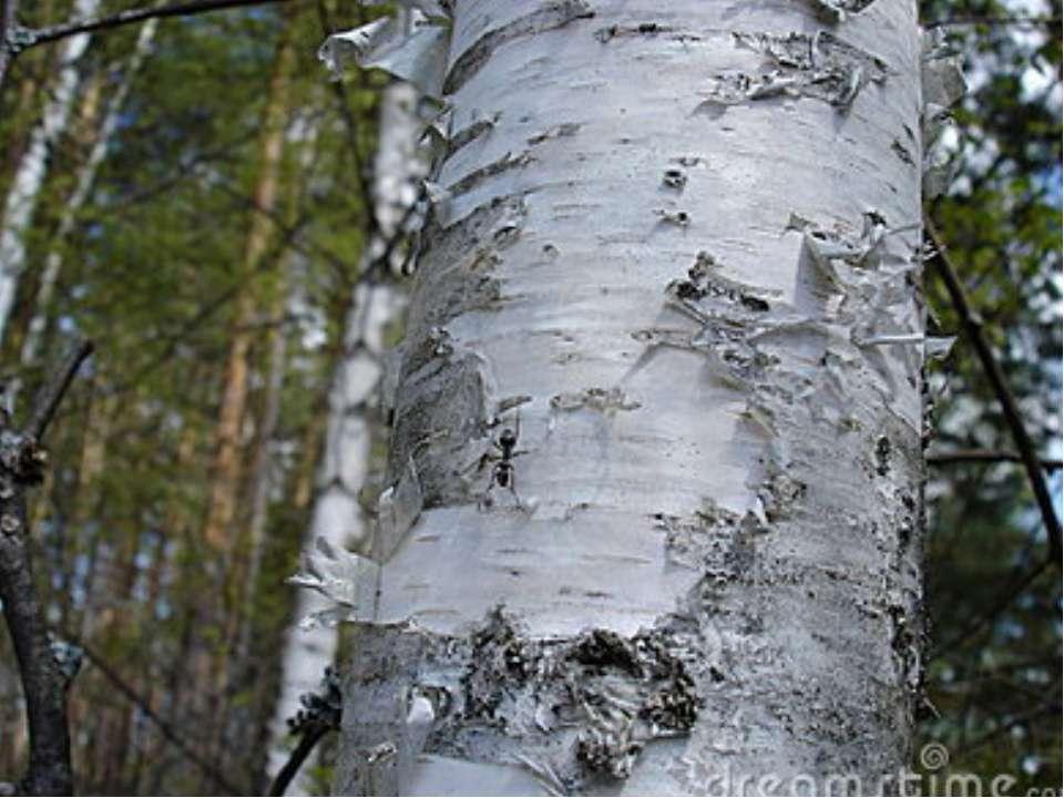 Робота з тлумачним словником Яке це дерево? Прочитайте. Знайдіть орфограми. Л...